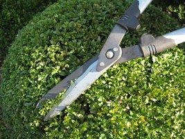 Niedoświadczonym ogrodnikom cięcie kuli ułatwi szablon, który co jakiś czas przykładamy do rośliny