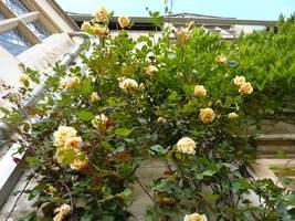 "Rosa Climbing ""Lady Hillingdon"""
