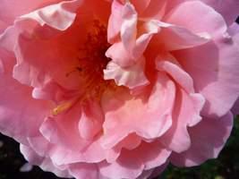 "Rosa ""Audrey Wilcocks"""