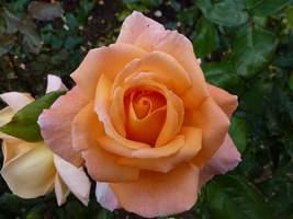 """Rosa """"Rosemary Harkness"""""""