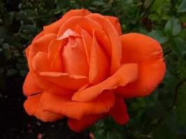 "Rosa ""Alexander'"