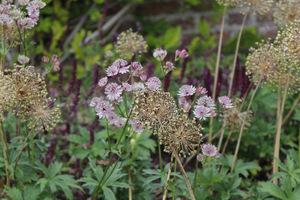 Jarzmianka i suche kwiatostany czosnków