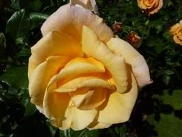 """Rosa """"Princess Royal"""""""