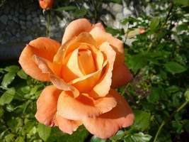 """Rosa """"L'Oreal Trophy"""""""
