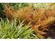 Dryopteris erythrosora z turzycą