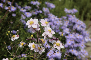 Anemone hupehensis 'Ouvertüre'