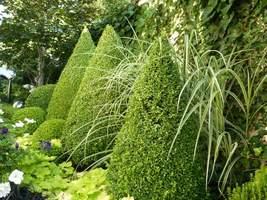W moim ogrodzie gwiazdami są strzyżone bukszpany i cisy