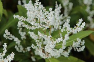 Persicaria wallichii