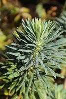Wilczomlecz ( Euphorbia characias subsp. wulfenii)