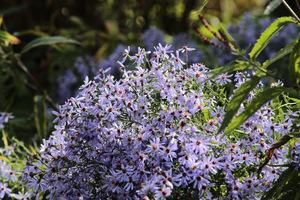 W niebieskim jesiennym ogrodzie królują astry