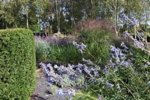 Salvia uliginosa a w tle lasek brzozowy z werbeną