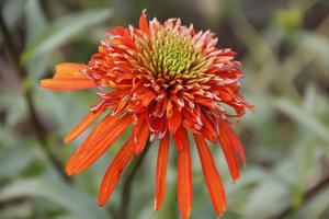 Echinacea 'Irresistible'