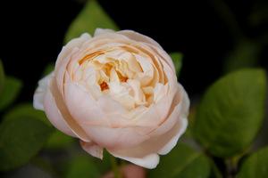 Rosa 'Saint Cecilia'