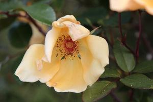 Piękny, pojedynczy kwiat róży