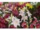 Kolekcja lilii