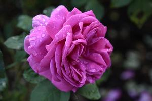 Róża 'Isaac Perriere'