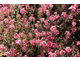 Diascia 'Aurora Dark Pink'