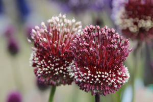 Allium 'Red Mohican'