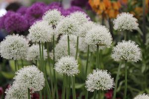 Allium jesdianum 'White Empress'