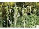Allium carinatum 'Pulchellum Album'