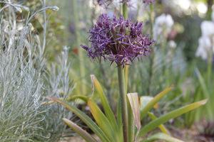 Allium christophii i jego brzydkie liście