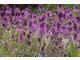 Allium carinatum 'Pulchellum'