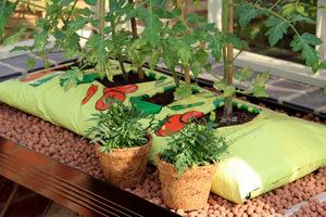 Pomidory uprawiane w worku z ziemią