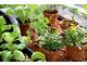 Siewki warzyw i aksamitek