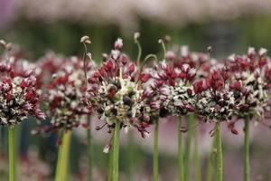Allium scorodoprasum  'Passion'