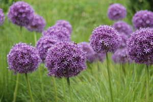 Allium 'Globemaster' w trawach