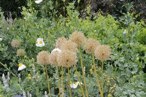 Suche kwiatostany czosnku zdobią przez długi czas