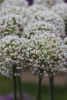 Allium 'Mont Blanc'