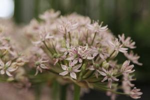 Allium nigrum  'Pink Jewel' (czosnek osobliwy)