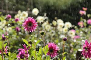 Dalie w deszczu i słońcu