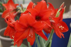 Hippeastrum 'Red Garden'