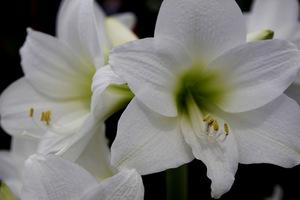 Hippeastrum multiflora 'White Garden'
