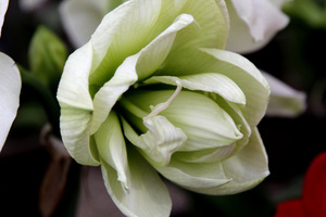 Hippeastrum 'Ice King'