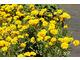 Nachyłek o pełnych kwiatach