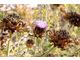 Nasienniki karczocha, egzotycznego warzywa