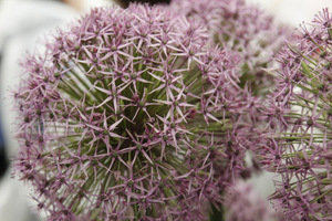 Allium 'Atlas'