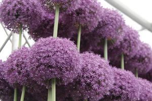 Allium 'Ambassador' - wyjątkowo okazały