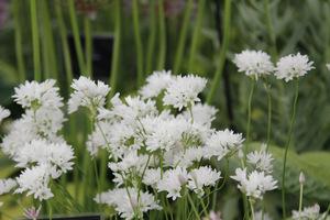 Allium zebdanense