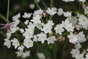 Allium neopolitanum