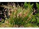 Dierama igneum jest niższa (60 cm) i kwitnie w lipcu