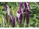 Dierama, a w tle storczyk Dactylorhiza purpurella