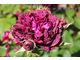 Róża 'William Shakespeare'