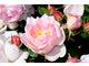 Róża 'Sceptre'd Isle'