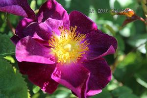 Róża 'La Belle Sultane'
