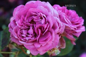 Róża 'Magenta'
