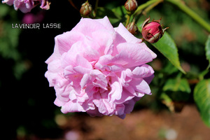 Róża 'Lavender Lassie'